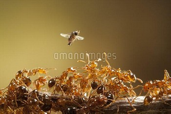 Female Phorid / Shuttle fly (Pseudacteon obtusus) in flight above Red imported fire ants (Solenopsis