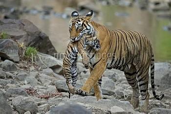 Bengal Tiger (Panthera tigris tigris) female 'Noor T39' carrying cub. Ranthambore National Park, Ind