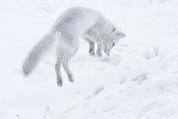 Arctic fox (Vulpes lagopus) in winter fur hunting for lemmings, Wrangel Island, Far Eastern Russia,