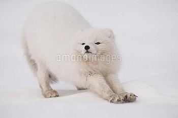 Arctic fox (Vulpes lagopus) stretching on snow, in winter coat, Spitsbergen, Svalbard, Norway. Stret