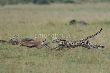 Female Cheetah (Acinonyx jubatus) chasing Thomson's gazelle (Eudorcas thomsonii) Masai-Mara game res