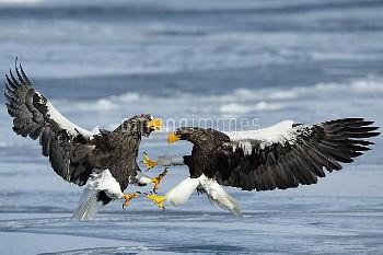 Steller's Sea Eagles (Haliaeetus pelagicus)  fighting,  Hokkaido, Japan.  February.