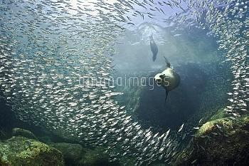 California sea lion (Zalophus californianus) adult female, bursting through a school of fish in the