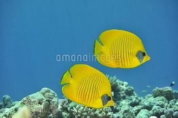 Pair of Masked butterflyfish (Chaetodon semilarvatus) Sudan. Red Sea.