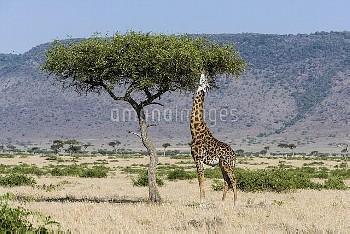 Masai giraffe (Giraffa camelopardalis tippelskirchi) male feeding, Masai-Mara game reserve, Kenya.