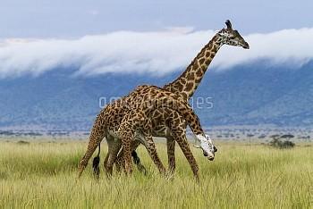Male Masai giraffes (Giraffa camelopardalis tippelskirchi) fighting, Masai-Mara game reserve, Kenya.