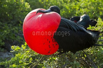 Great frigatebird (Fregata minor) male displaying inflated gular sac, Galapagos, Ecuador.