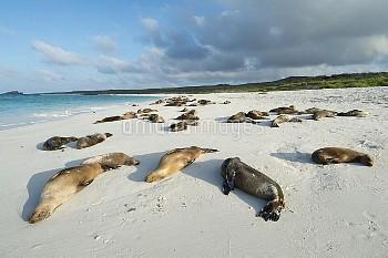 Galapagos sea lion (Zalophus wollebaeki) group resting on beach, Galapagos