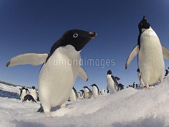 Adelie penguins (Pygoscelis adeliae) wide angle portrait of two with larger group in background, Ant