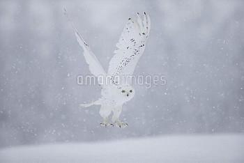 Snowy Owl  (Bubo scandiaca) flying,  captive, February.