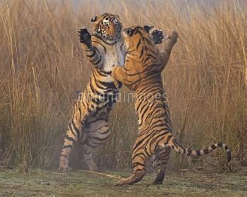 Bengal tiger (Panthera tigris tigris) 11 month cubs play fighting, Ranthambhore National Park, India