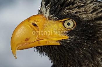Steller's Eagle (Haliaeteus pelagicus) close up of head and beak, Hokkaido, Japan, February