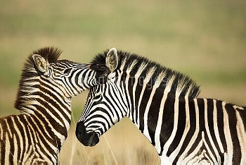 Burchell's zebra (Equus quagga burchellii) allo grooming, Gauteng Province, Rietvlei Nature Reserve,
