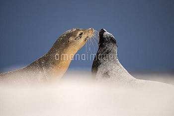 Galapagos sea lions (Zalophus californianus) two interacting on sand, Mosquera Islet, Galapagos Isla