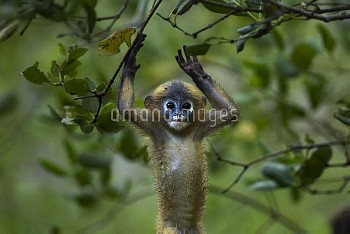 Dusky leaf monkey (Trachypithecus obscurus) baby playing . Khao Sam Roi Yot National Park, Thailand.
