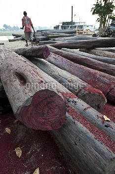 Hardwoods (Rosewood sp.) lying on the quayside in Maroantsetra. Collected illegally from the region