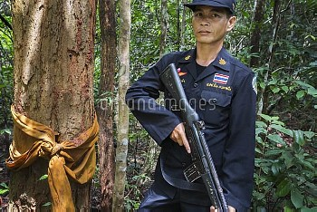 Siam rosewood tree (Dalbergia cochinchinensis) ordained by Buddhist monk, with forest guard, Thap La