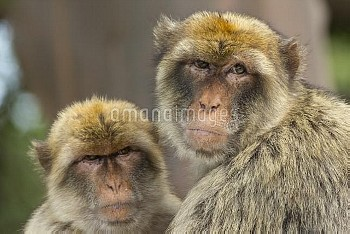 Barbary macaque (Macaca sylvanus) portrait of two sitting together, Gibraltar Nature Reserve, Gibral