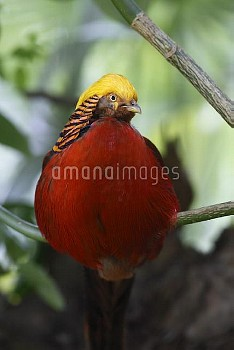 Golden pheasant (Chrysolophus pictus) male perched in tree, introduced species, Wales, UK