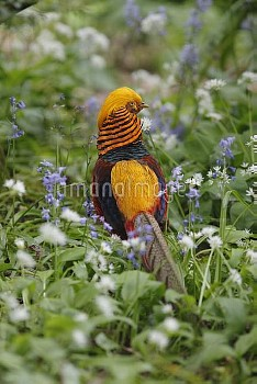 Golden pheasant (Chrysolophus pictus) male amongst Bluebells, introduced species, Wales, UK