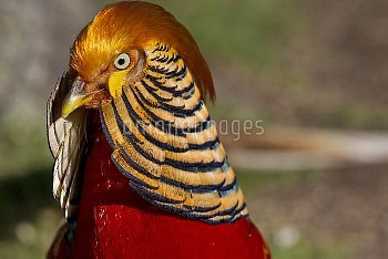 Male Golden Pheasant (Chrysolophus pictus) in portrait showing display plumage. Captive. Kaikoura, C