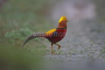 Golden pheasant (Chrysolophus pictus) male walking, Tangjiahe National Nature Reserve, Sichuan Provi