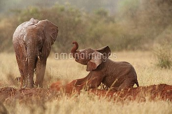 African Elephant (Loxodonta africana) juvenile and baby, wet with rain, playing in red dust. Tsavo N