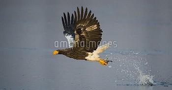 Steller's sea-eagle (Haliaeetus pelagicus) in flight hunting fish, Hokkaido, Japan, February.