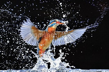Kingfisher (Alcedo atthis) emerging from pool with fish, UK, December.