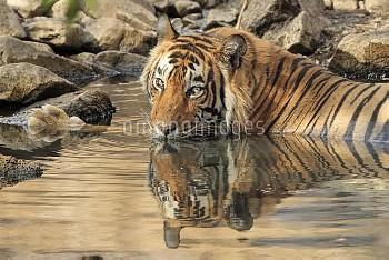 Bengal tiger (Panthera tigris tigris) male cooling off in waterhole during summer heat Ranthambhore,