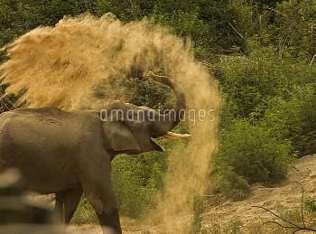 Asiatic elephant (Elephas maximus), young male taking dust bath at dawn. Jim Corbett National Park,
