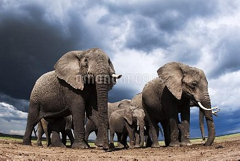 African elephants (Loxodonta africana) feeding on loose soil for its minerals, with stormy skies beh