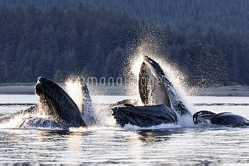 Humpback whales (Megaptera novangliaea) pod engaged in social foraging by herding herring and other