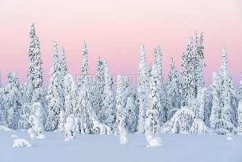 Norway spruce (Picea abies) trees covered in snow and frost at sunrise, Stubba Nature Reserve, Lapon