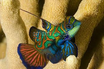 Mandarinfish (Synchiropus splendidus) Yap, Micronesia.