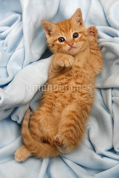 Portrait of ginger domestic kitten lying on its back, aged 6 weeks, Germany