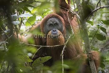 Tapanuli Orangutan (Pongo tapanuliensis) portrait of male,  Batang Toru, North Sumatra, Indonesia. T