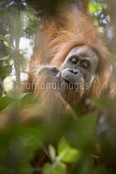 Tapanuli Orangutan (Pongo tapanuliensis) portrait, Batang Toru, North Sumatra, Indonesia. This is a