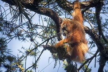 Tapanuli Orangutan (Pongo tapanuliensis) mother and baby, Batang Toru, North Sumatra, Indonesia. Thi