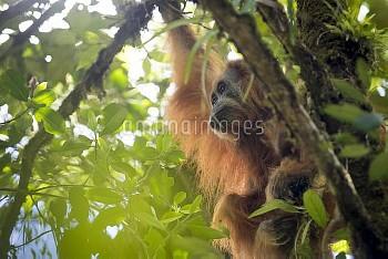 Tapanuli Orangutan (Pongo tapanuliensis) female with baby, Batang Toru, North Sumatra, Indonesia. Th
