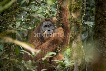 Tapanuli Orangutan (Pongo tapanuliensis) portrait of male 'Togos',  Batang Toru, North Sumatra, Indo