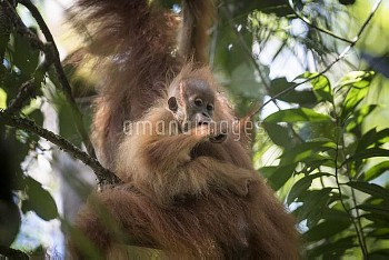 Tapanuli Orangutan (Pongo tapanuliensis) baby hanging on to mother, Batang Toru, North Sumatra, Indo