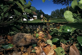 Common hedgehog (Erinaceus europaeus) amongst leaves in hedge, with person mowing lawn in the backgr