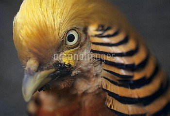 Golden pheasant head