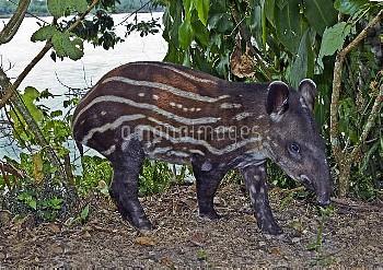 Young Brazilian tapir