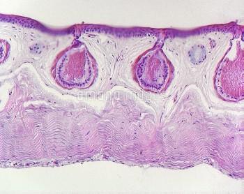 Frog skin glands, light micrograph