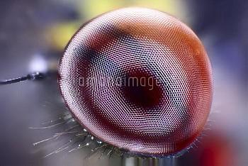 Damselfly eye, light micrograph