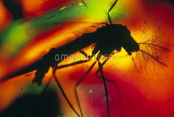 Mosquito seen in amber