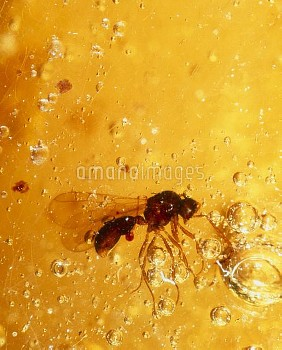 View of a fossilised hymenopteran in amber
