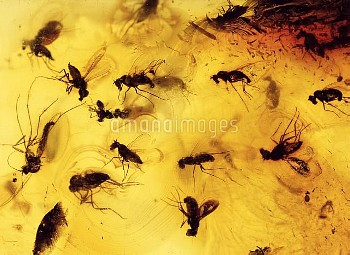 Insects fossilised in amber